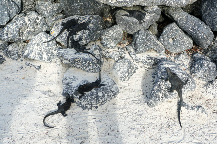 Multiple galapagos lizards sunbathing on rocks